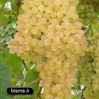انگور , خواص انگور , انگور برای سرماخوردگی , انگور و لاغری , انگور و دیابت , انگور برای فشار خون